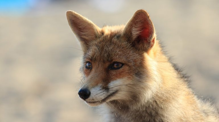 fox-1324840_1280
