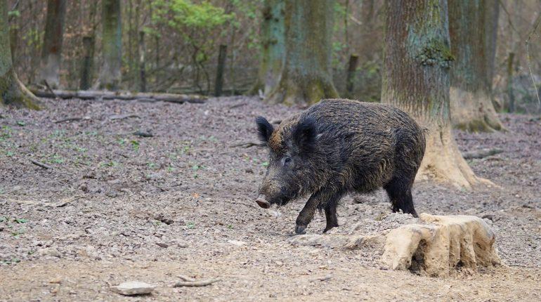 boar-2248412_1280