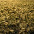wheat-2253777_1280