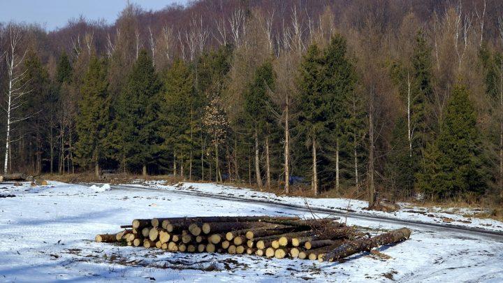 Harmonogram wyznaczania drzew do wycinki: luty – marzec 2021