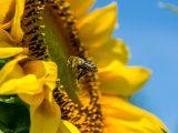 KOMUNIKAT – Zasady stosowania środków ochrony roślin w sposób bezpieczny dla pszczół